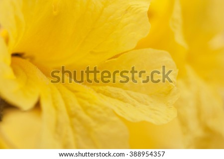 Golden flower -Tabebuia chrysantha with soft focus ,blurred