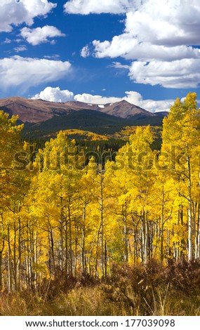 Golden forest of aspen trees during fall in the Colorado Rocky Mountains - stock photo
