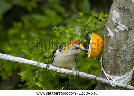 Golden-fronted Woodpecker eating an orange for lunch