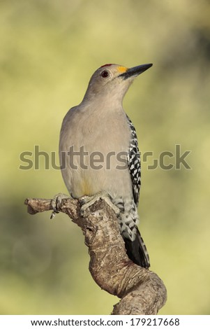 Golden-fronted woodpecker perched on a branch - stock photo