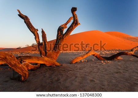 Golden glow of morning light bathes red sand dunes and weathered scrub tree trunks in Namibian desert foreground. This desert is the oldest in the world completely devoid of surface water. - stock photo