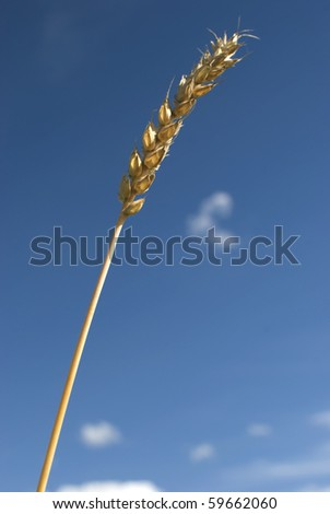 Golden grain ear of a wheat over blue sky background. Close up.