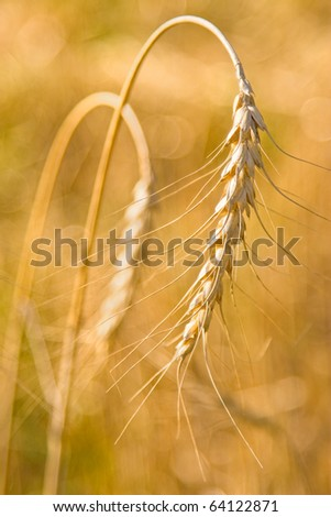 Golden grain ears - stock photo