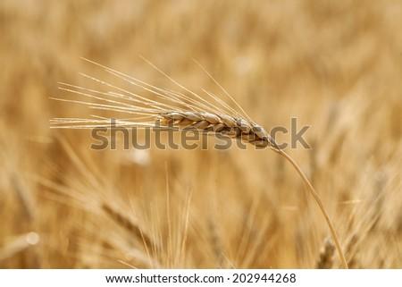 Golden grain ears close up - stock photo