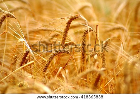 Golden grain (wheat or barley) field background during summer sunset light with details on kernels and straws. Golden straws and grain of barley wheat. Countryside grain field detail. Barley detail. - stock photo