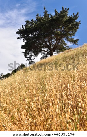 Golden grass on side of hill with large tree and blue sky - stock photo