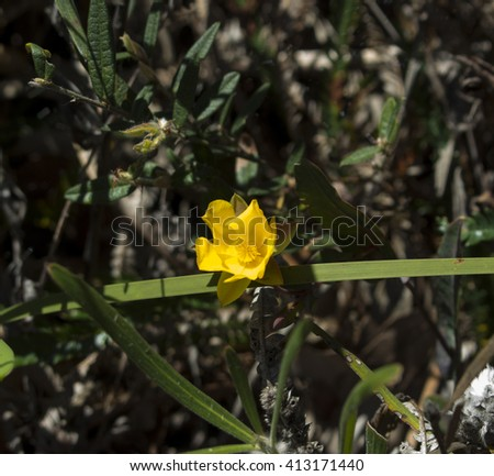 Golden Guinea flower Hibbertia scandens a genus of trees, shrubs, trailing shrubs and climbers of the family Dilleniaceae  in bloom in Crooked Brook wildflower reserve Western Australia  in spring. - stock photo
