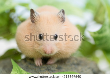 Golden Hamster and green leaves. - stock photo