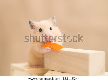 Golden Hamster eating carrot on building blocks - stock photo