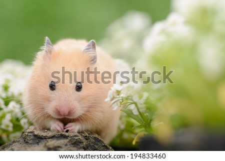 Golden Hamster in flower garden - stock photo