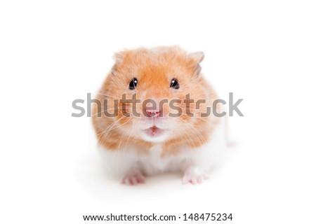Golden hamster isolated on white - stock photo