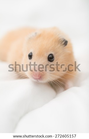 Golden Hamster on bed sheets.