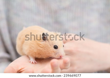 Golden Hamster on woman's hand.