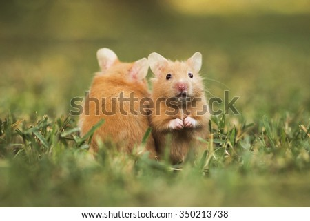 golden hamster or Syrian hamster, (Mesocricetus auratus) on the lawn  - stock photo