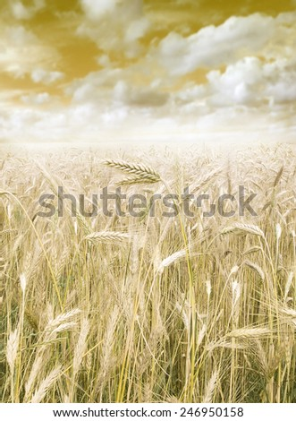 golden harvest close up on field - stock photo