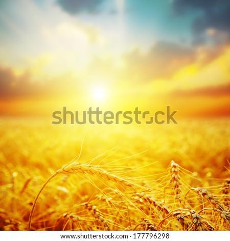 golden harvest in sunset. soft focus - stock photo