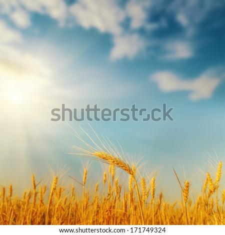 golden harvest on field and sunset. soft focus - stock photo
