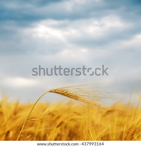 golden harvest on field under dramatic sky. soft focus