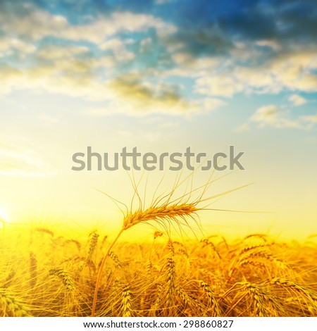 golden harvest on field under sunset with clouds. soft focus