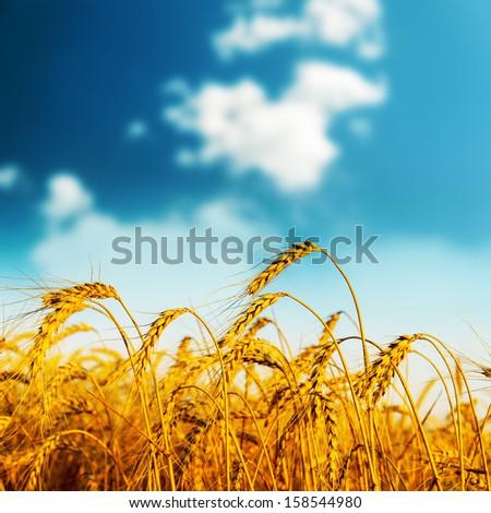 golden harvest on sunset. soft focus - stock photo