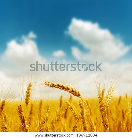 golden harvest under blue cloudy sky. soft focus on bottom of picture - stock photo