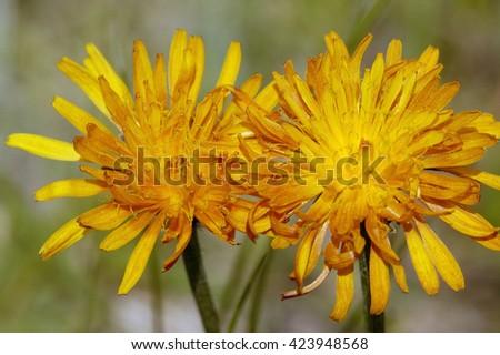Golden Hawksbeard - Crepis aureaAlpine Wild Flower - stock photo