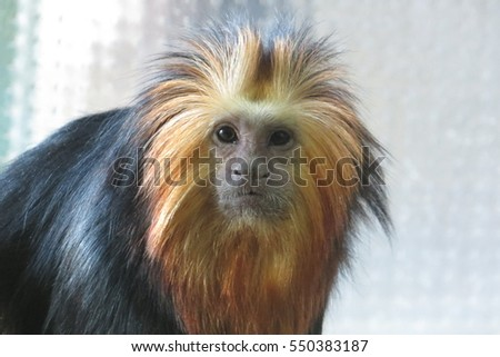 Golden-headed lion tamarin - Leontopithecus chrysomelas