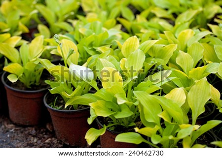 Golden hosta nursery - stock photo