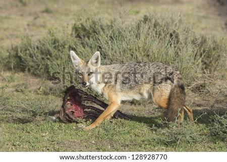 Golden Jackal (Canis aureus), Tanzania feeding on wildebeest carcass, Serengeti - stock photo