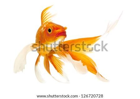 Golden koi fish isolated on white background. - stock photo