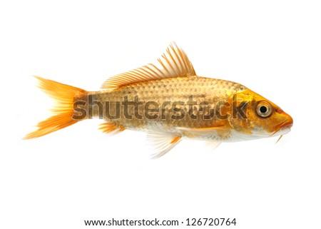 Golden koi fish isolated on white background - stock photo