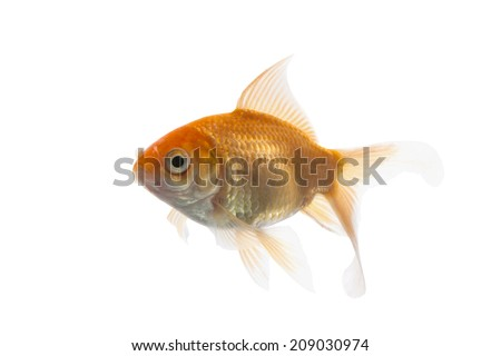 Golden koi fish isolated on white background with using path