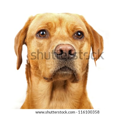 Golden Labrador Alert and Attentive Isolated On White - stock photo