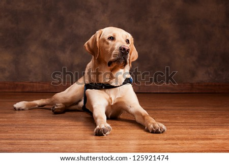 Golden Labrador laying on a wood floor. - stock photo