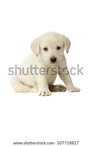 Golden Labrador Puppy isolated on a white background