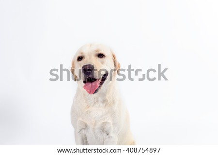 golden Labrador - retriever on a white background in studio