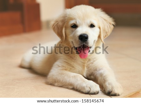 Golden Labrador retriever puppy indoor  - stock photo
