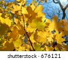Golden leafes on blue sky - stock photo