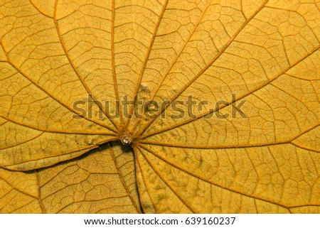Golden leave -Look like blood vessels-Look like a road map-background texture BAUHINIA AUREIFOLIA