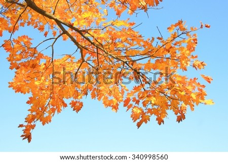 Golden leaves in fall