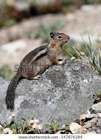 Golden-mantled Ground Squirrel - stock photo