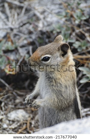 Golden-mantled ground squirrel at Mineral King, Sequoia National Park