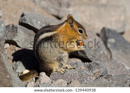 Golden-mantled ground squirrel (Callospermophilus lateralis). The golden-mantled ground squirrel is a type of ground squirrel found in mountainous areas of western North America. - stock photo