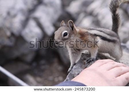 Golden Mantled Ground Squirrel on Sulphur Mountain. Canada - stock photo