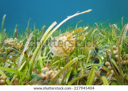 Golden medusa, Mastigias jellyfish, swims above seabed with seagrass and coral, Caribbean sea, Panama - stock photo