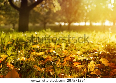Golden morning sun rays on green grass in autumn. Beautiful nature background. Very shallow depth of field. - stock photo