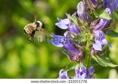 Golden Northern Bumble Bee, Bombus fervidus,  in flight - stock photo