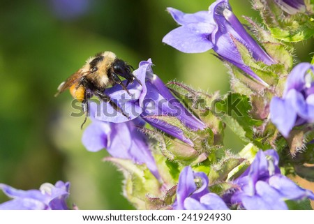 Golden Northern Bumble Bee, Bombus fervidus, Thoraco