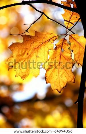 Golden oak leaves - stock photo