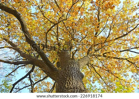 Golden oak tree at autumn season - stock photo
